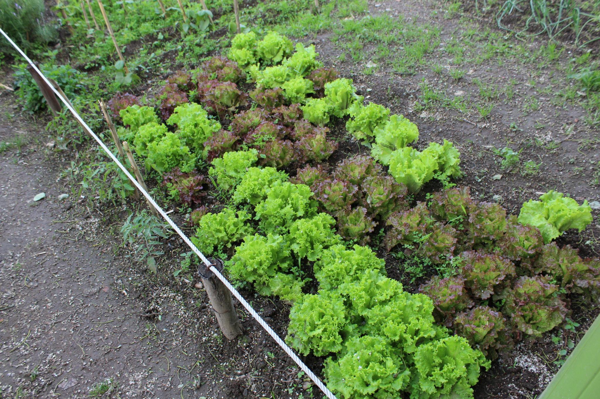 Pormenor de uma pequena parcela de alfaces, vegetal presente em praticamente todos os lotes.
