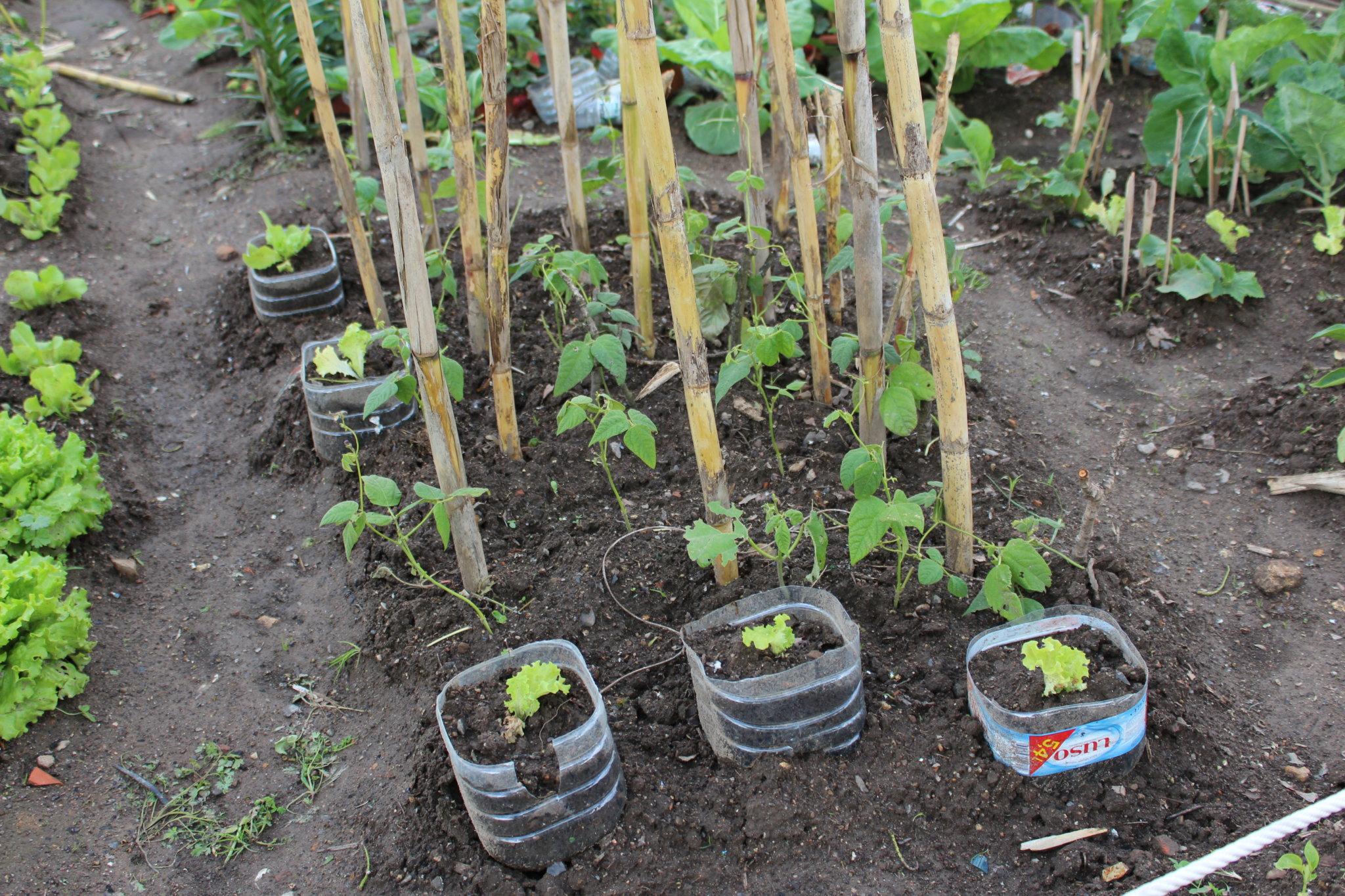 Uma opção biológica – o cultivo de alfaces em garrafões permite a reutilização deste resíduo e a proteção contra as lesmas e os caracóis, sem necessidade de pesticidas.