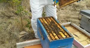 A Importância do ser Abelha: extinção das abelhas provocaria extinção dos humanos em 4 anos