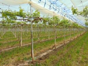 Vinhas do Vale da Rosa: elevadas na vertical e com cobertura plástica