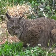 O lince ibérico está de volta / The Iberian lynx (Lynx pardinus) is back