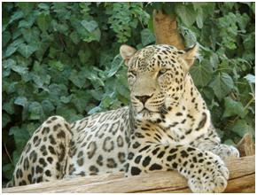 Leopardo da Pérsia