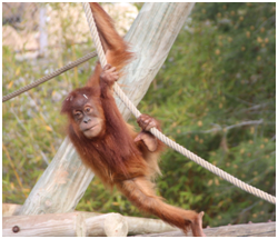 Cria Orangotango-de-Sumatra
