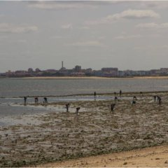 Illegal gathering of mussels in river Tagus