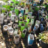 Germinação de árvores autóctones na Feira de S. Martinho
