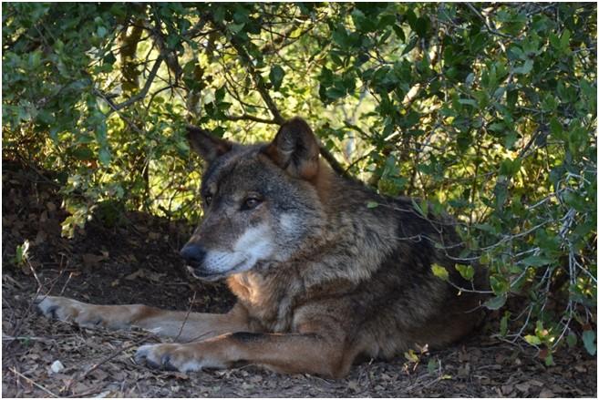 Centro de recuperação do lobo ibérico, o melhor amigo do lobo