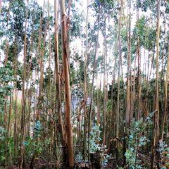 O eucalipto em Viseu