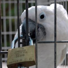 Quebra o Silêncio pelas Aves de Canto