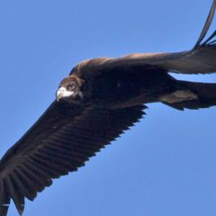 The Black Vulture's comeback to Portugal – a stroke of good luck  or a steady reality?