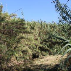 Canas bravas: uma das maiores pragas em rios portugueses e causadoras evidentes de secas em diferentes rios