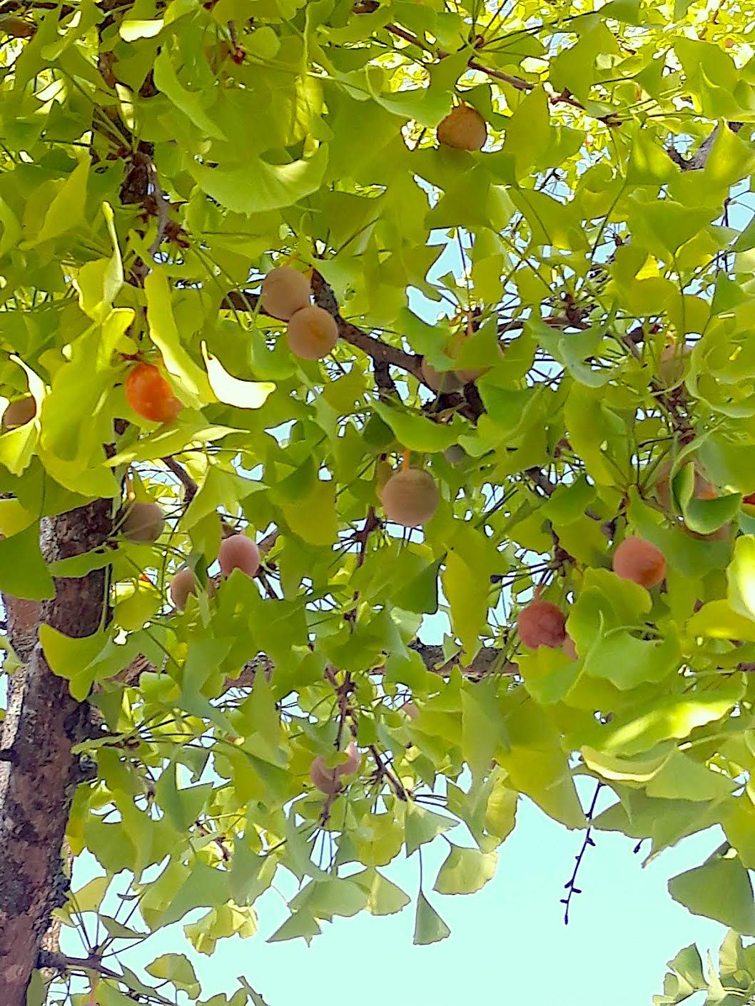 Gingko biloba – Com cautela, a natureza ao serviço da saúde