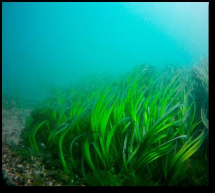 Pradarias Marinhas e a sua Importância na Preservação da Biodiversidade