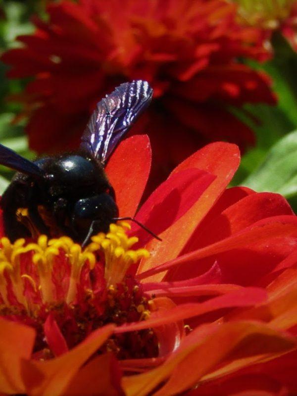 A abelha carpinteira, a abelha solitária