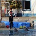 A tratadora aproveita para treinar os golfinhos enquanto os alimenta.