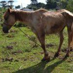 cavalo_desidratado